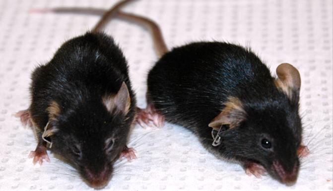 Un vigués lidera o equipo internacional que alongou un 30% a vida de ratos