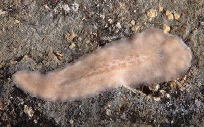 Descuberta na ría de Arousa unha nova especie de verme mariño
