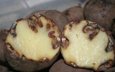 A couza guatemalteca da pataca ameaza aos agricultores galegos